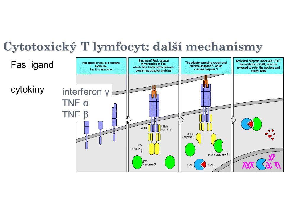 Cytotoxický T lymfocyt: další mechanismy Fas ligand cytokiny interferon γ TNF α TNF β