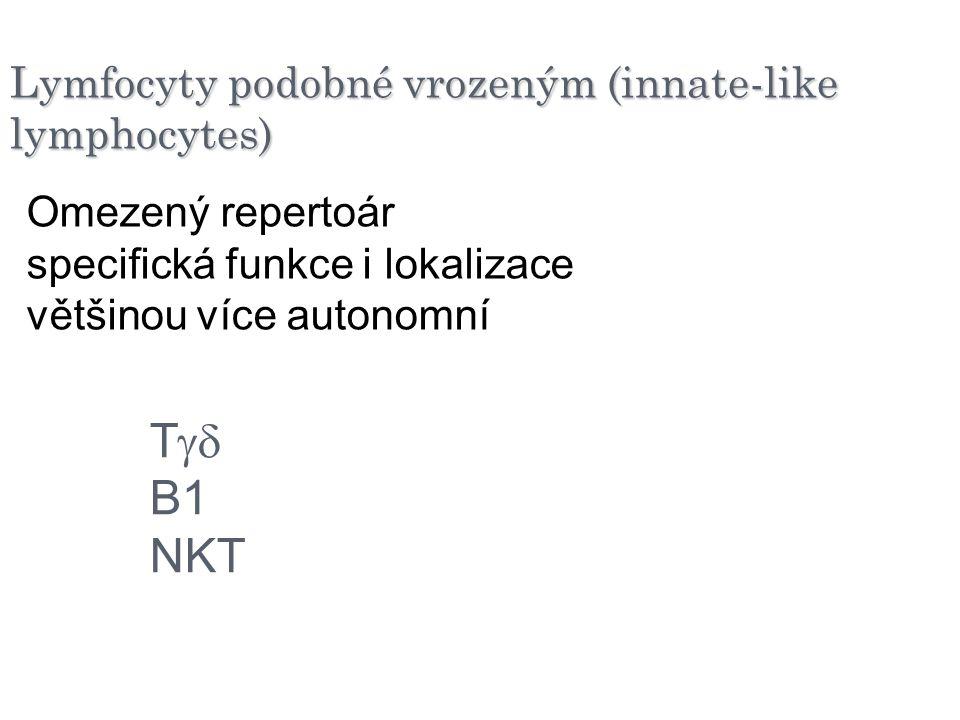 Lymfocyty podobné vrozeným (innate-like lymphocytes) Omezený repertoár specifická funkce i lokalizace většinou více autonomní T  B1 NKT