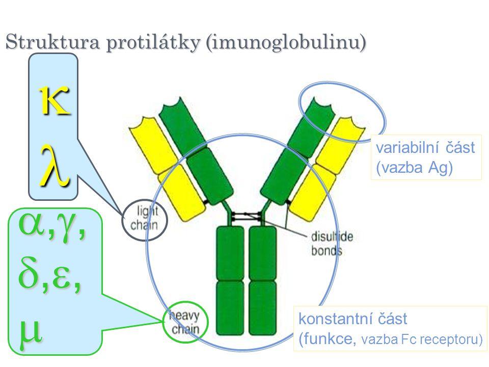 Struktura protilátky (imunoglobulinu)  ,,,,,,,,,,,,,,,, variabilní část (vazba Ag) konstantní část (funkce, vazba Fc receptoru)