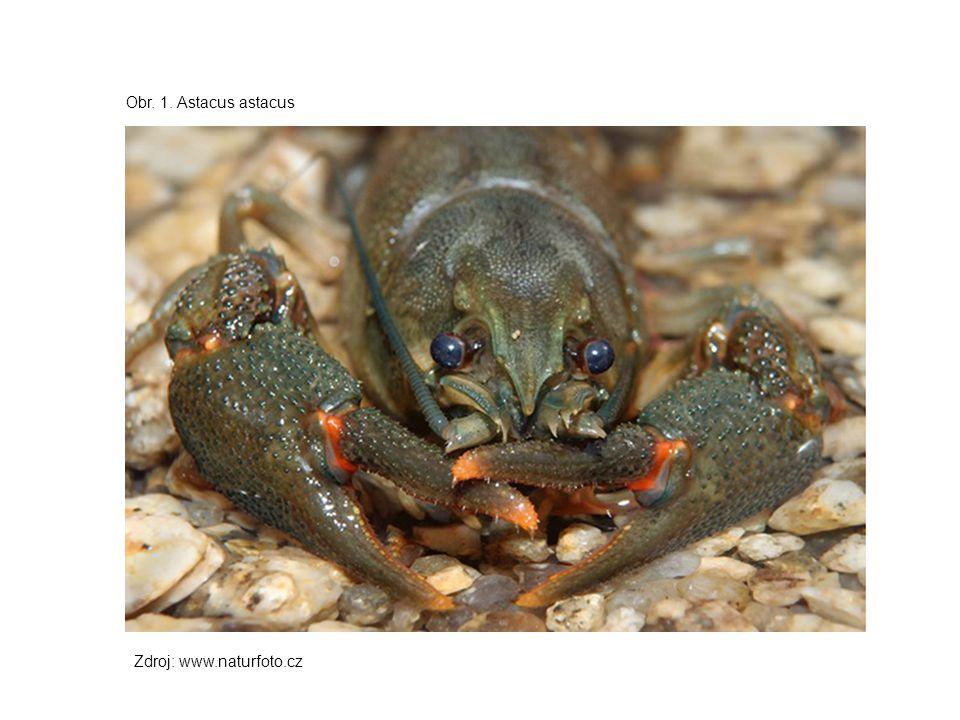 Obr. 1. Astacus astacus Zdroj: www.naturfoto.cz