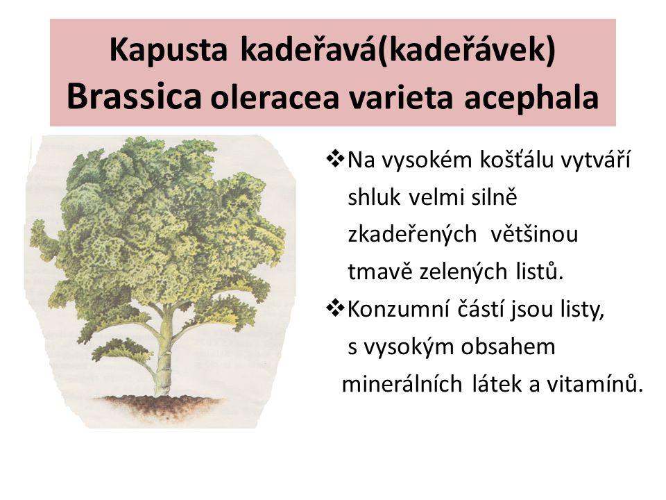 Kapusta kadeřavá(kadeřávek) Brassica oleracea varieta acephala  Na vysokém košťálu vytváří shluk velmi silně zkadeřených většinou tmavě zelených list