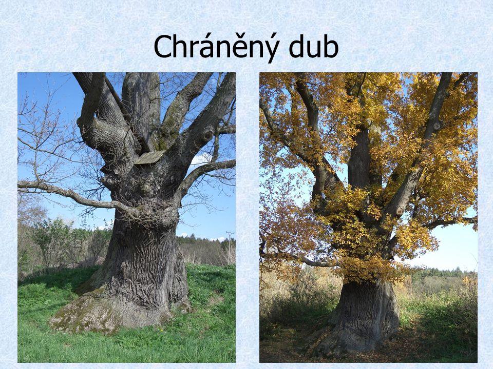Chráněný dub