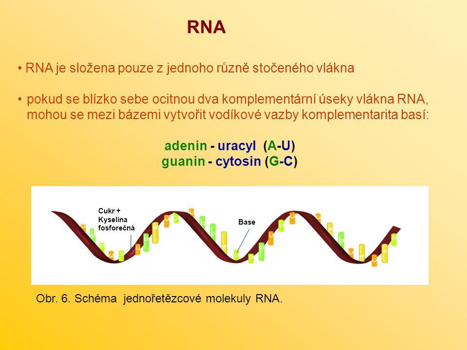 RNA RNA je složena pouze z jednoho různě stočeného vlákna pokud se blízko sebe ocitnou dva komplementární úseky vlákna RNA, mohou se mezi bázemi vytvo