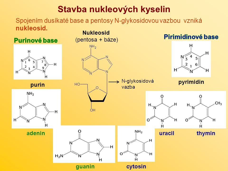 Stavba nukleových kyselin Spojením dusíkaté base a pentosy N-glykosidovou vazbou vzniká nukleosid. Nukleosid (pentosa + báze) N-glykosidová vazba puri