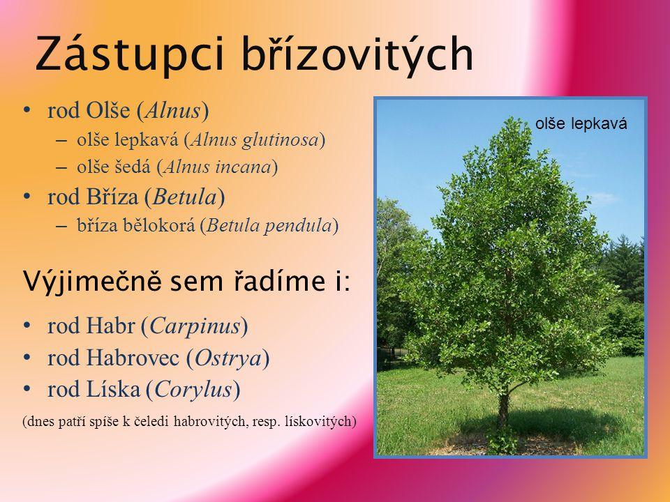 Zástupci b ř ízovitých rod Olše (Alnus) – olše lepkavá (Alnus glutinosa) – olše šedá (Alnus incana) rod Bříza (Betula) – bříza bělokorá (Betula pendul