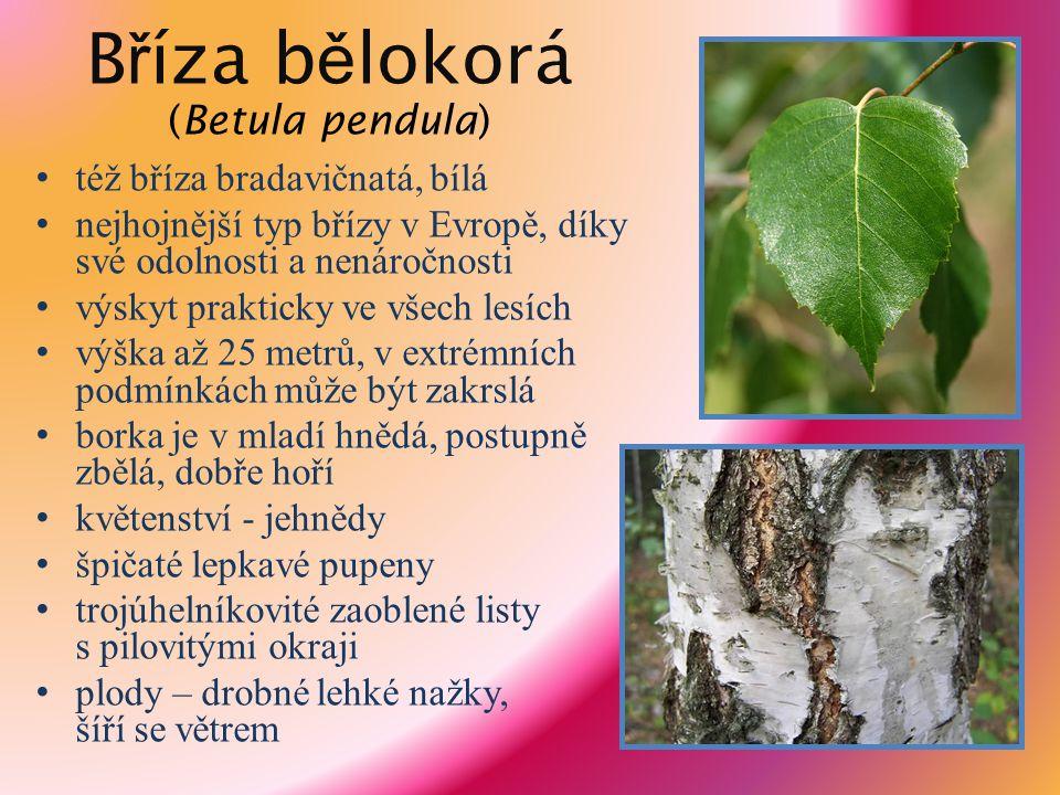 B ř íza b ě lokorá (Betula pendula) též bříza bradavičnatá, bílá nejhojnější typ břízy v Evropě, díky své odolnosti a nenáročnosti výskyt prakticky ve
