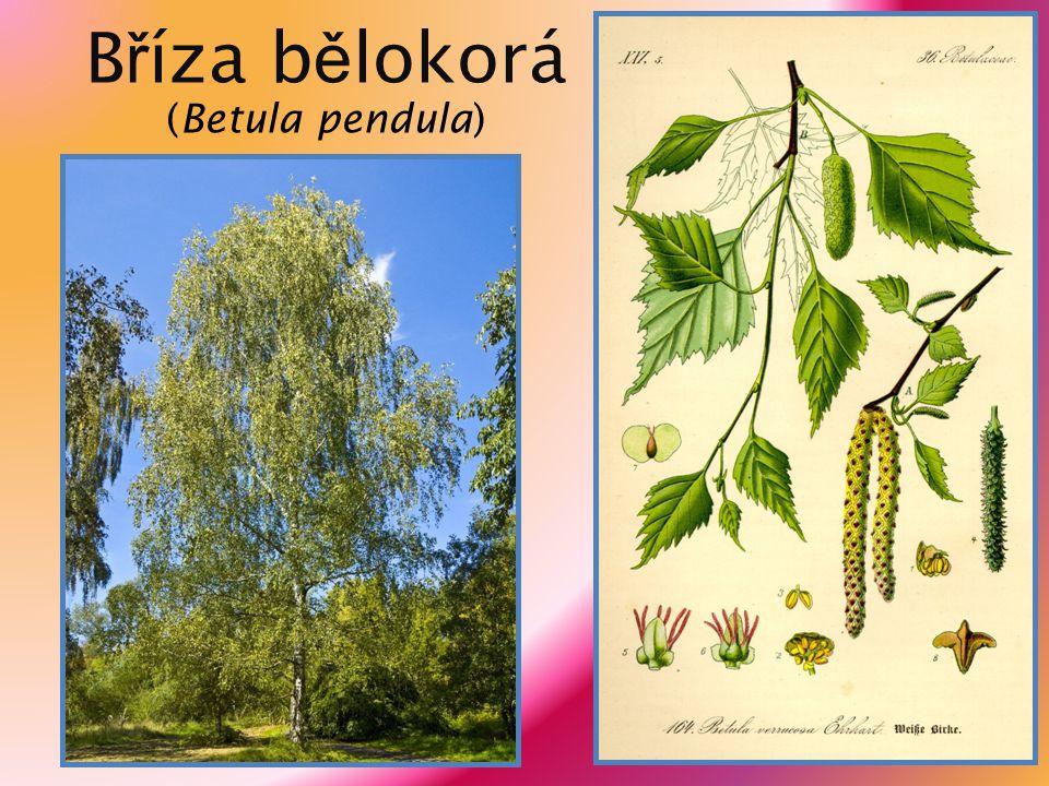 Olše lepkavá (Alnus glutinosa) výška až 30 metrů, kuželovitá koruna černohnědá borka střídavé okrouhlé listy široce vejčitého tvaru se zubatým okrajem jednopohlavné květy uspořádány v jehnědách, samičí se od samčích liší nafialovělou barvou listy opadávají ještě zelené plody – ploché nažky, uložené v černohnědých šišticích alergologicky významná dřevina dožívá se 200 let