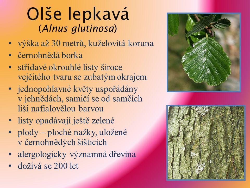 Olše lepkavá (Alnus glutinosa) výška až 30 metrů, kuželovitá koruna černohnědá borka střídavé okrouhlé listy široce vejčitého tvaru se zubatým okrajem
