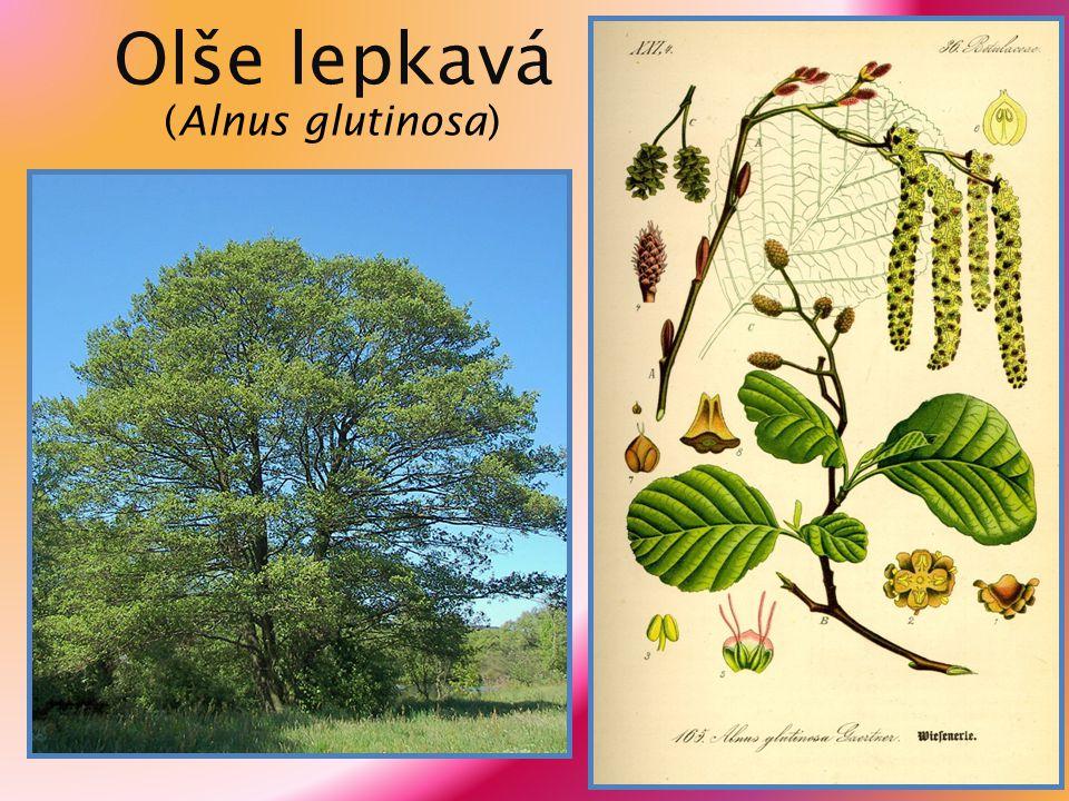 Zdroje informací: http://cs.wikipedia.org http://www.priroda.cz u č ebnice Biologie rostlin, nakladatelství Fortuna Zdroje obrázk ů : strana 2 http://upload.wikimedia.org/wikipedia/commons/5/51/Betula_rezniczenkoana_4.JPG strana 3 http://upload.wikimedia.org/wikipedia/commons/5/5c/Betula-utilis-leaves.JPG http://upload.wikimedia.org/wikipedia/commons/b/b5/Alnus_incana_rugosa_catkin.jpg strana 4 http://upload.wikimedia.org/wikipedia/commons/e/ea/European_black_alder.jpg strana 5 http://upload.wikimedia.org/wikipedia/commons/0/07/Betula_leaf_457.jpg http://upload.wikimedia.org/wikipedia/commons/c/c0/Betula_verrucosa_a1.jpg strana 6 http://upload.wikimedia.org/wikipedia/commons/4/46/Betula_pendula_001.jpg http://upload.wikimedia.org/wikipedia/commons/7/78/Illustration_Betula_pendula0.jpg strana 7 http://upload.wikimedia.org/wikipedia/commons/c/c9/Alnus_glutinosa_tervaleppä_lehti.jpg http://upload.wikimedia.org/wikipedia/commons/0/0d/Alnus_glutinosa_003.jpg strana 8 http://upload.wikimedia.org/wikipedia/commons/1/1a/Alnus_glutinosa_011.jpg http://upload.wikimedia.org/wikipedia/commons/c/c1/Illustration_Alnus_glutinosa0.jpg