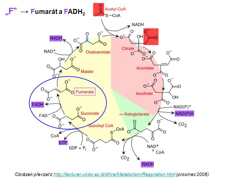 Obrázek převzat z http://lecturer.ukdw.ac.id/dhira/Metabolism/Respiration.html (prosinec 2006)http://lecturer.ukdw.ac.id/dhira/Metabolism/Respiration.