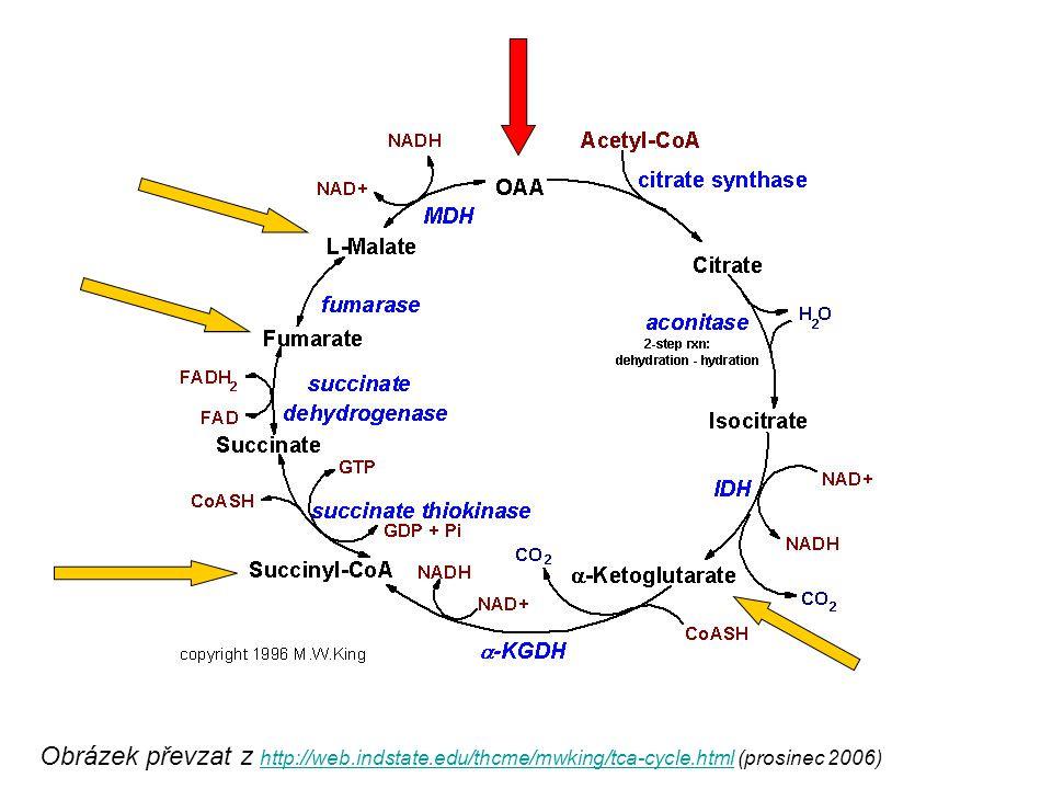 Obrázek převzat z http://web.indstate.edu/thcme/mwking/tca-cycle.html (prosinec 2006) http://web.indstate.edu/thcme/mwking/tca-cycle.html