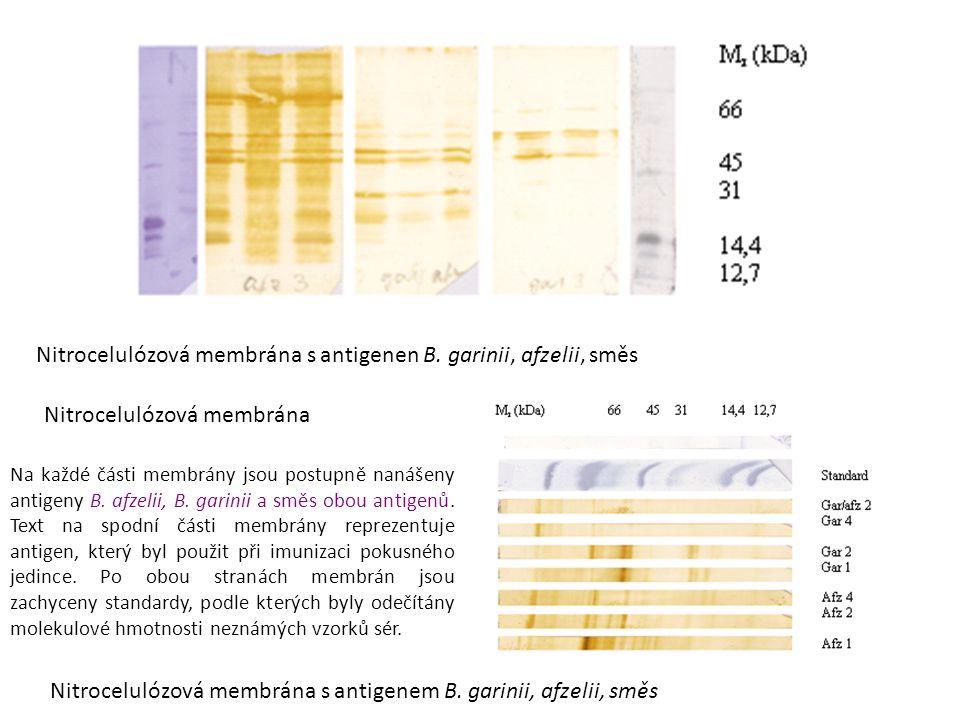 Nitrocelulózová membrána Nitrocelulózová membrána s antigenen B.