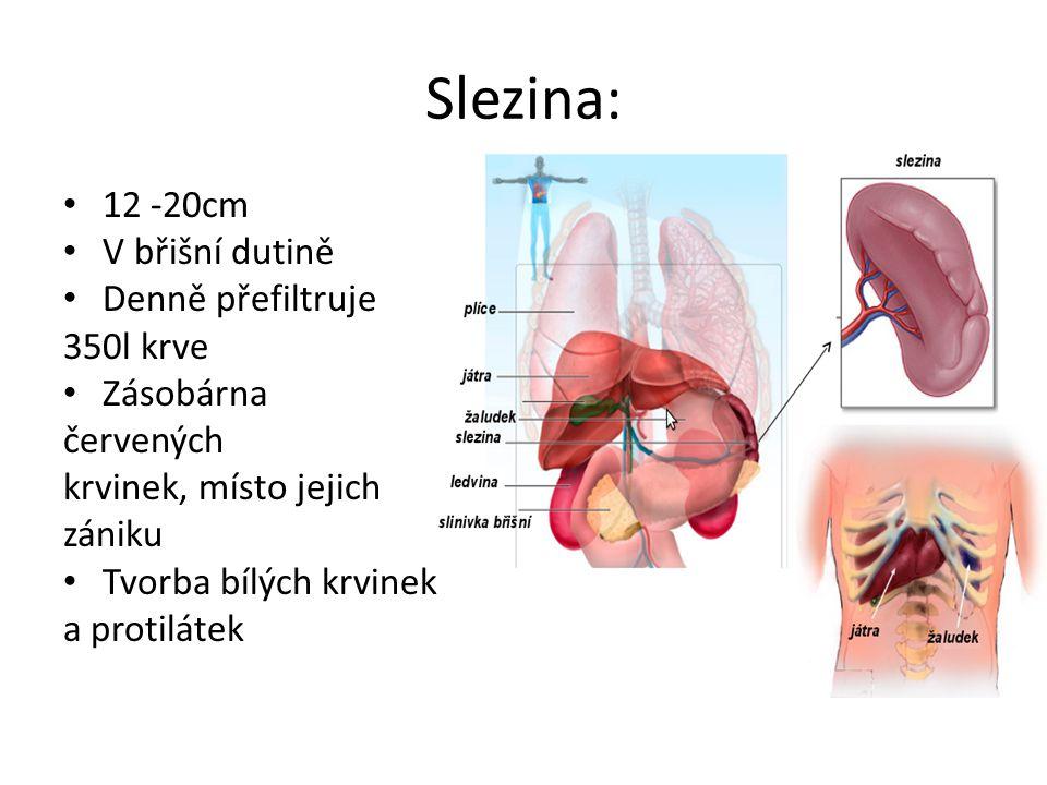 Slezina: 12 -20cm V břišní dutině Denně přefiltruje 350l krve Zásobárna červených krvinek, místo jejich zániku Tvorba bílých krvinek a protilátek