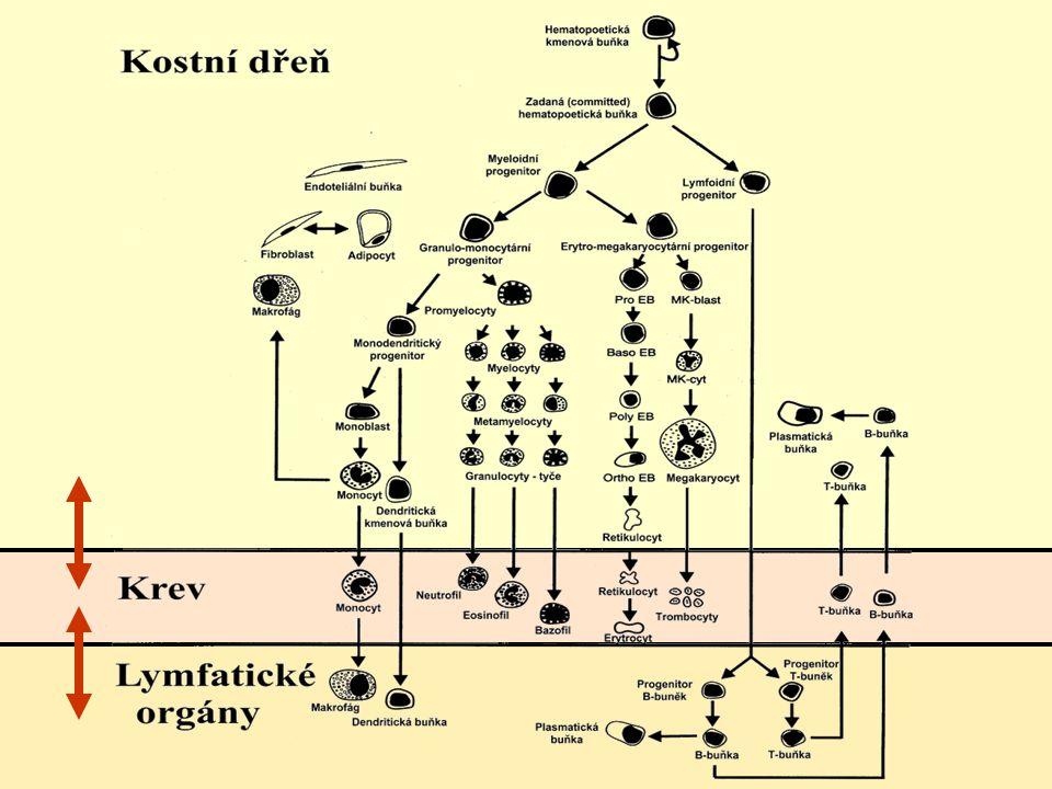 Zajímavý život krvetvorných buněk migrace do oběhu (mobilizace) cirkulace v periferní krvi homing (kostní dřeň, játra, slezina, …) reengraftment v kostní dřeni repopulace (proliferace, diferenciace)