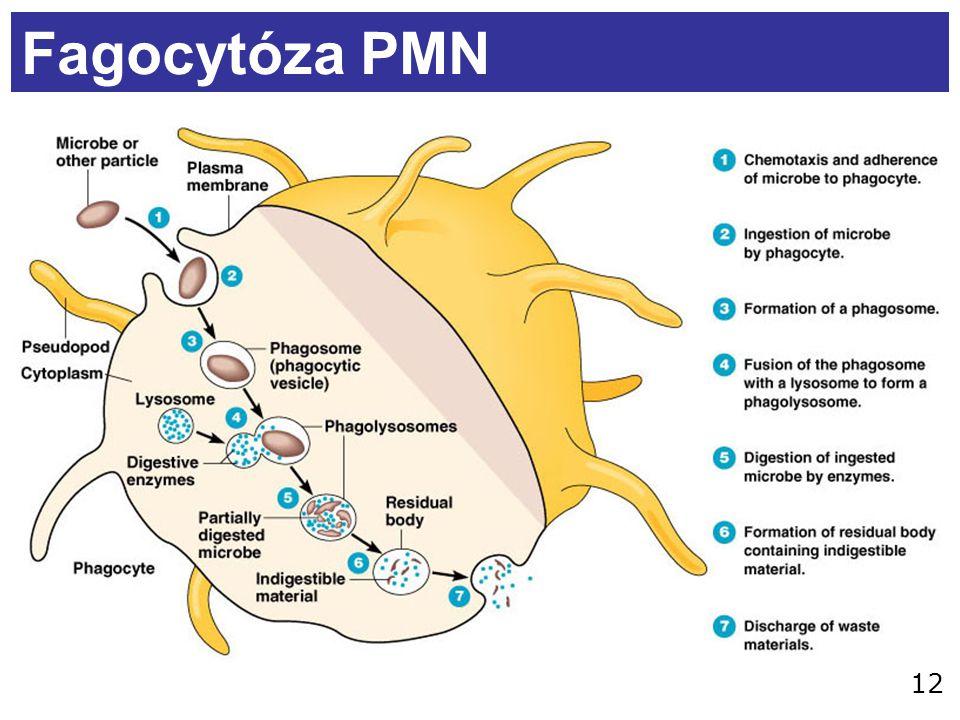 12 Fagocytóza PMN