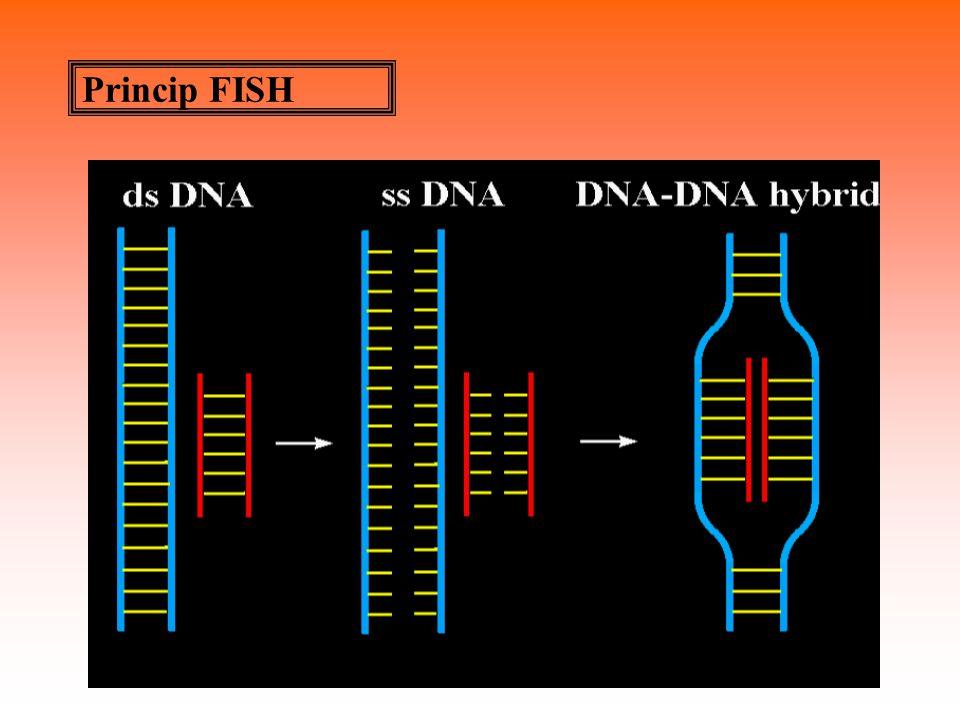 Typy sond Satelitní-hybridizace se satelitními sondami - centromerické  satelitní: centromery, tandemově se opakující monomer 171 bp (numerické aberace, interfázní jádra)  satelitní: pericentrické oblasti akrocentr., tandemově se opakující monomer 68 bp (13,14,15,21,22,9) telomerické: specifické sekvence TTAGGG (telomer.
