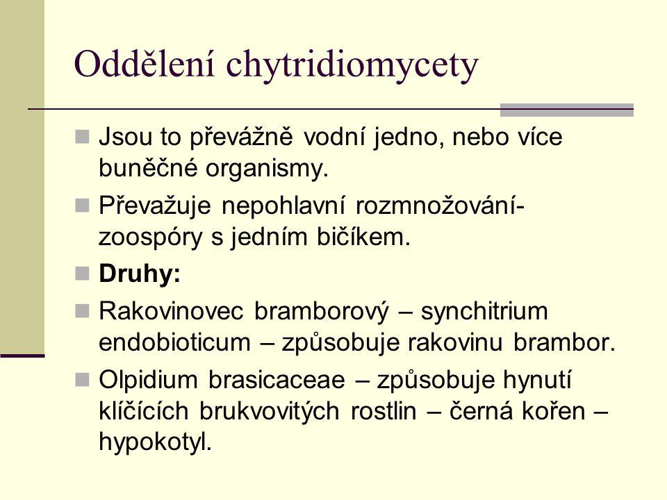 Oddělení chytridiomycety Jsou to převážně vodní jedno, nebo více buněčné organismy. Převažuje nepohlavní rozmnožování- zoospóry s jedním bičíkem. Druh