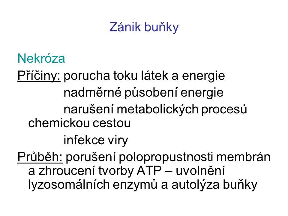Zánik buňky Nekróza Příčiny: porucha toku látek a energie nadměrné působení energie narušení metabolických procesů chemickou cestou infekce viry Průběh: porušení polopropustnosti membrán a zhroucení tvorby ATP – uvolnění lyzosomálních enzymů a autolýza buňky