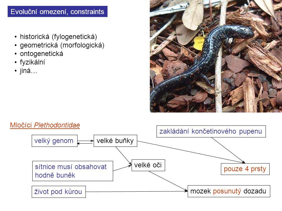 Evoluční omezení, constraints historická (fylogenetická) geometrická (morfologická) ontogenetická fyzikální jiná… velký genom sítnice musí obsahovat hodně buněk velké buňky velké oči život pod kůrou mozek posunutý dozadu zakládání končetinového pupenu pouze 4 prsty Mločíci Plethodontidae