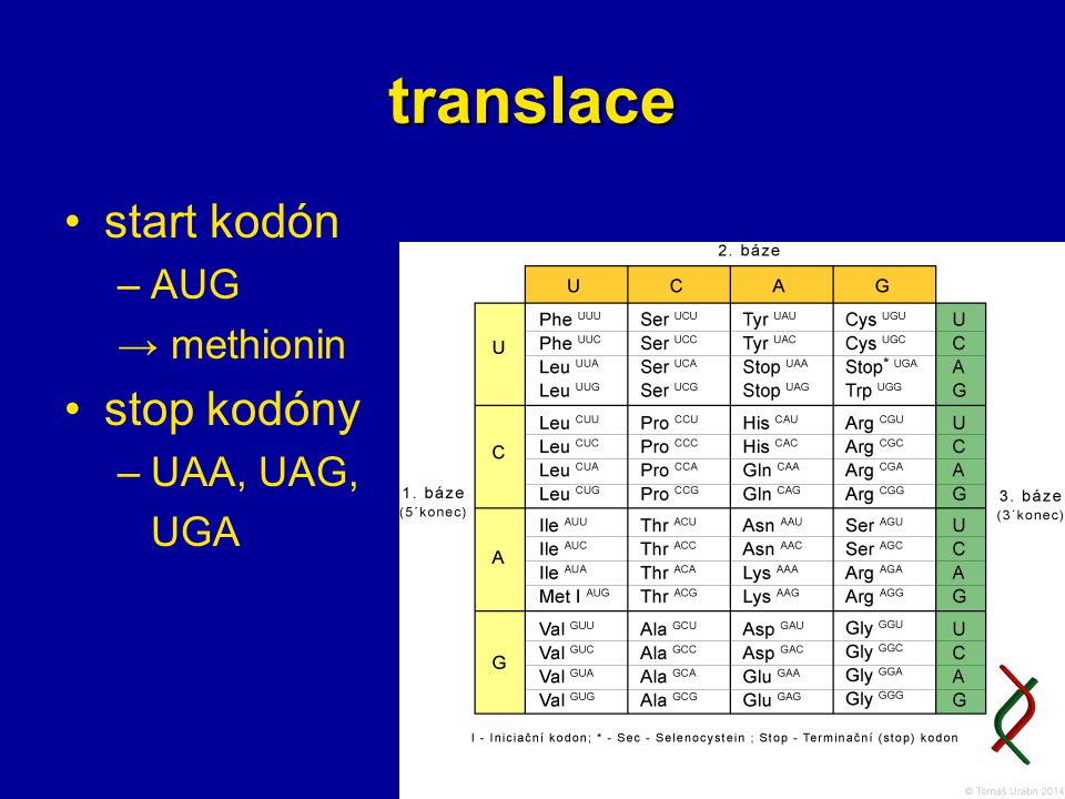 18 translace start kodón –AUG → methionin stop kodóny –UAA, UAG, UGA