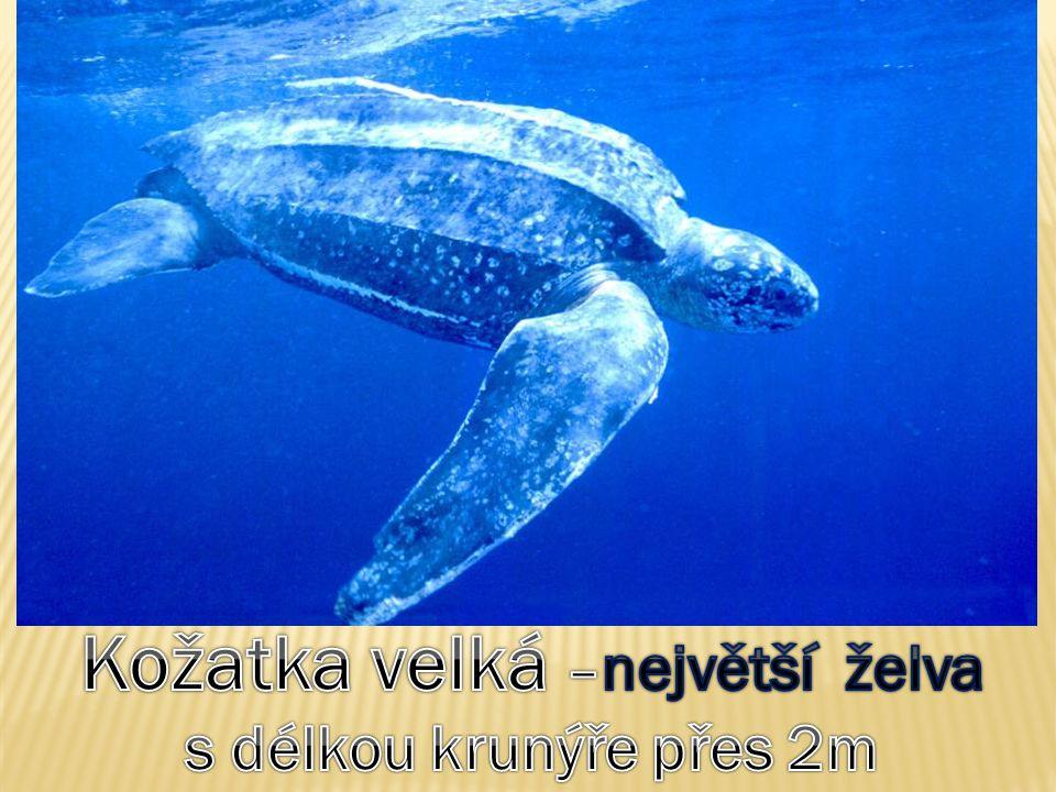 Mo ř e a oceány – obratlovci PARYBY: žralok – chrupavčitá kostra  pružnost; ostré zuby ve více řadách  dravec RYBY: kostěné šupiny, žábry kryté skřelemi hospodářsky významné: tuňák (okolo 3 m), sardinka (olejovky), sleď (uzenáč, zavináč), treska (filé), makrela (uzená), losos (rozmnožuje se v řekách ústících do moří) PLAZI: želva kareta pravá(1 m) - všežravec; všežravec; ohrožená lovem (pro krunýř a maso) a sběrem vajec (na pobřeží)