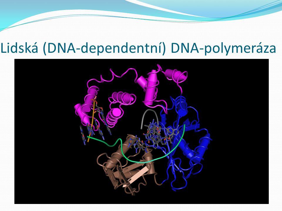 Lidská (DNA-dependentní) DNA-polymeráza