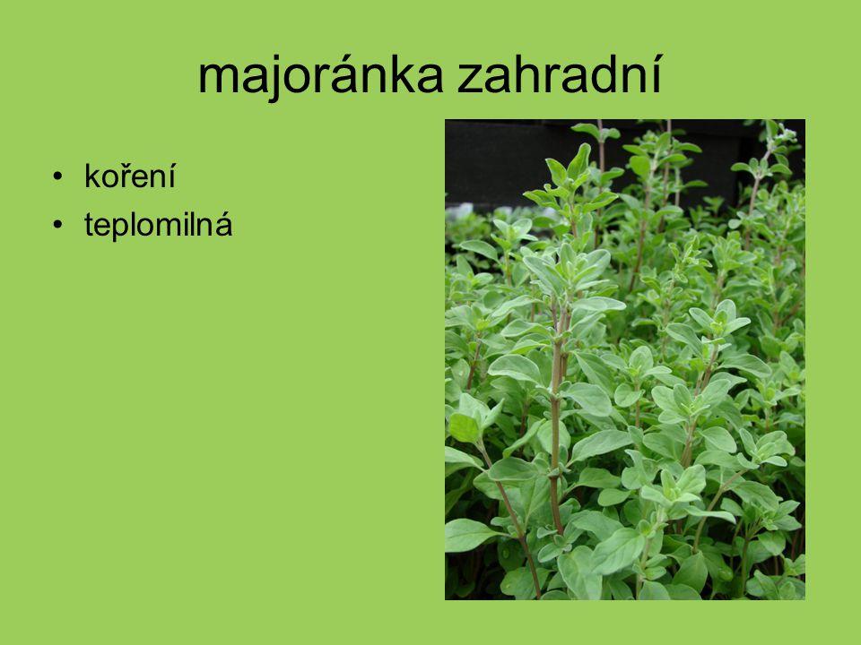majoránka zahradní koření teplomilná