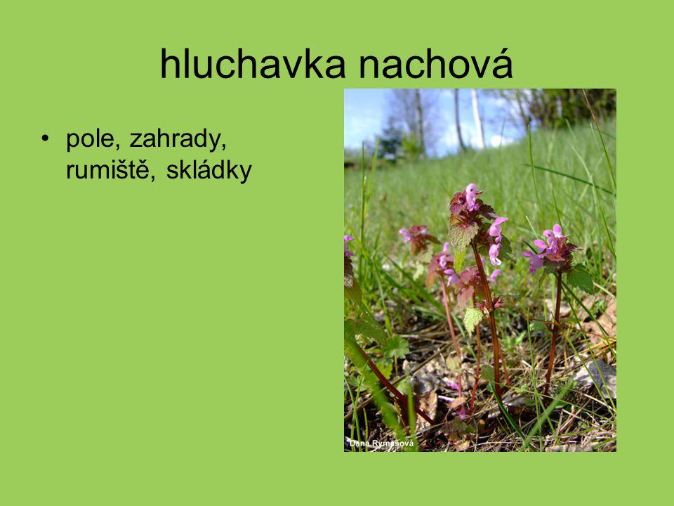 zběhovec plazivý na loukách často se pěstuje jako okrasná rostlina