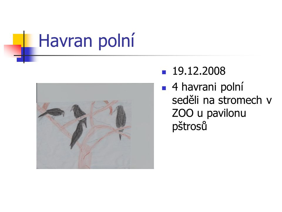 Sojka obecná 8.1.2009 Sojka obecná seděla na stromě u Hroncovi školky a křičela