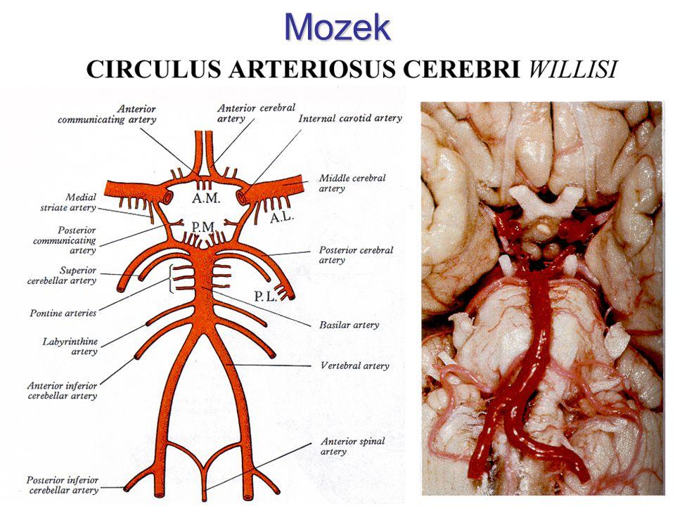 Zdrojnice rr.spinales a. vertebralis a. cervicalis ascendens a.