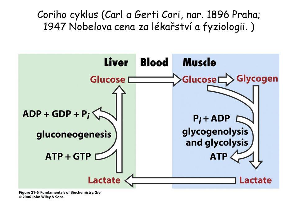 Coriho cyklus (Carl a Gerti Cori, nar. 1896 Praha; 1947 Nobelova cena za lékařství a fyziologii. )