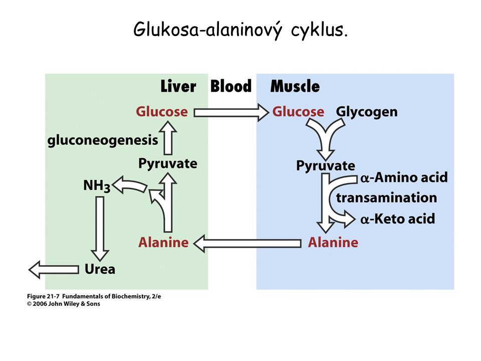 Glukosa-alaninový cyklus.