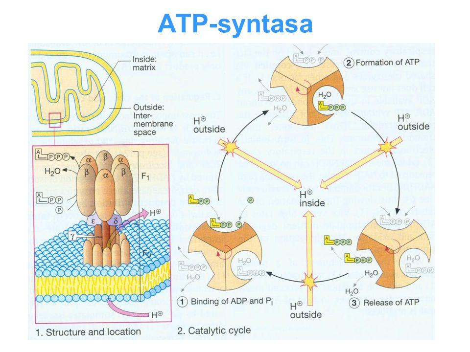ATP-syntasa