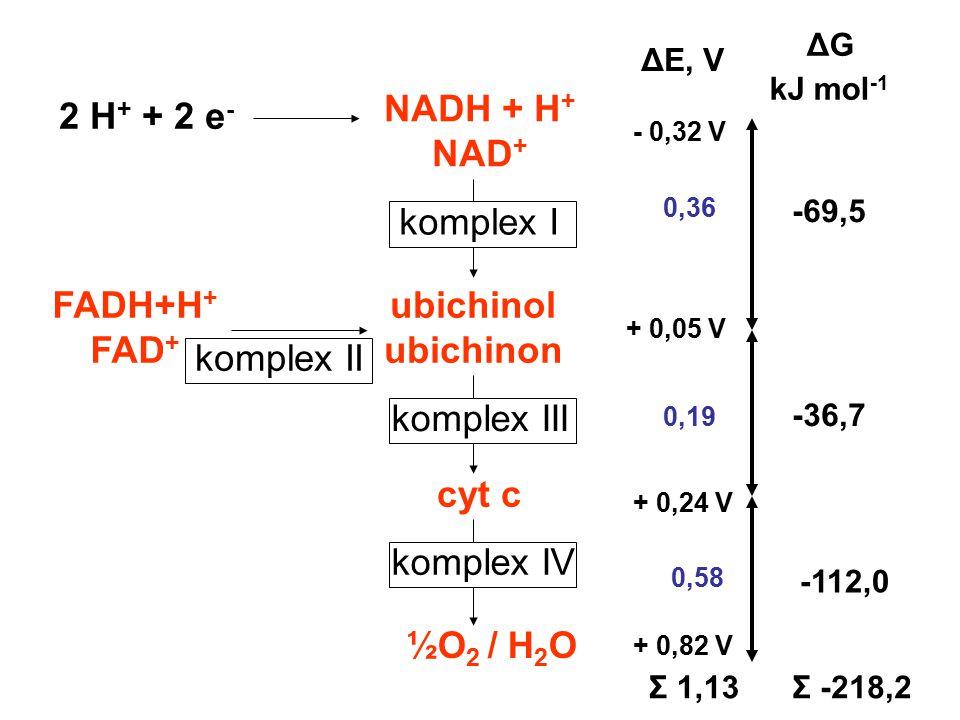 NADH + H + NAD + ubichinol ubichinon cyt c ½O 2 / H 2 O FADH+H + FAD + 2 H + + 2 e - 0,36 0,19 0,58 -69,5 -36,7 -112,0 ΔE, V ΔG kJ mol -1 komplex I ko