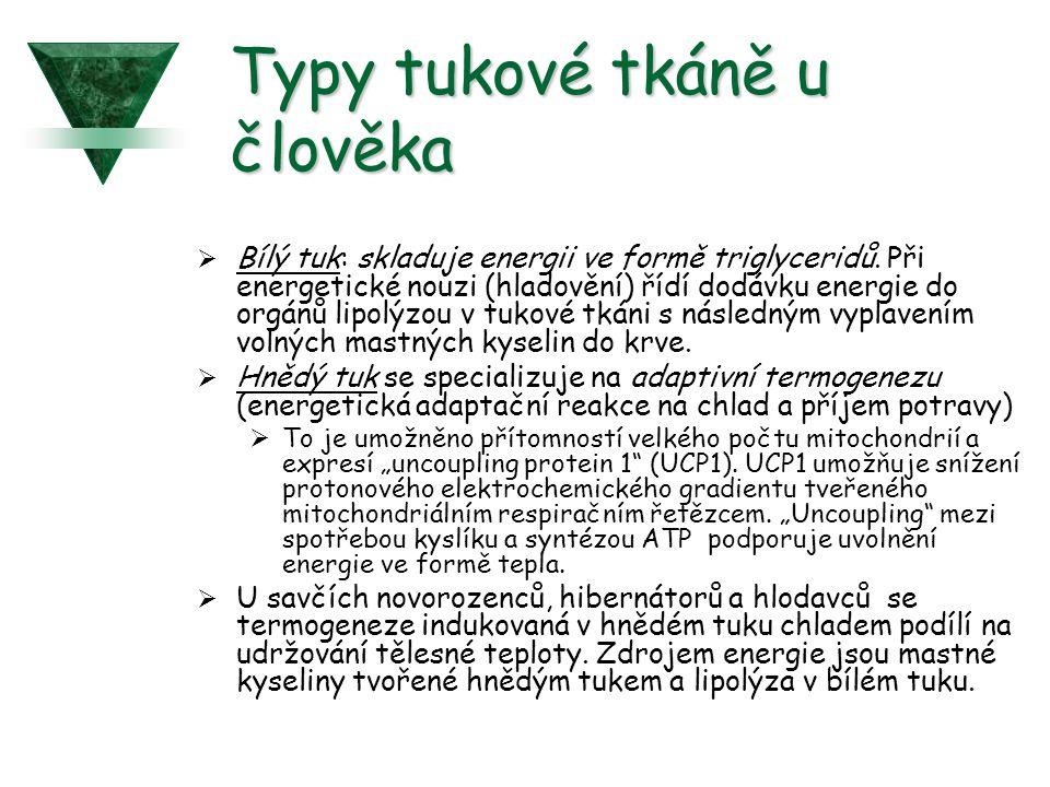 Typy tukové tkáně u člověka  Bílý tuk: skladuje energii ve formě triglyceridů.