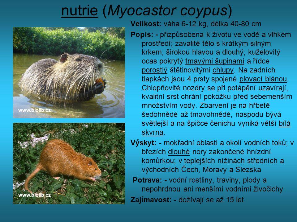 nutrie (Myocastor coypus) Velikost: váha 6-12 kg, délka 40-80 cm Popis: - přizpůsobena k životu ve vodě a vlhkém prostředí; zavalité tělo s krátkým si