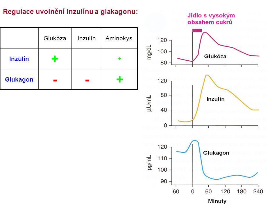 GlukózaInzulínAminokys. Inzulín + + Glukagon --+ Regulace uvolnění inzulínu a glakagonu: