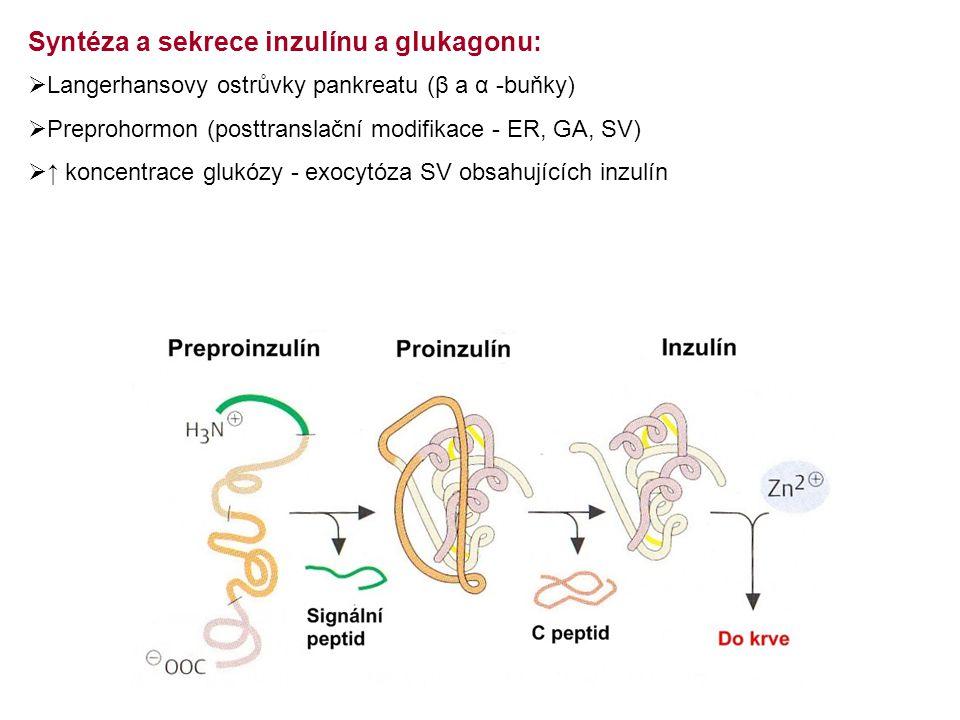  Langerhansovy ostrůvky pankreatu (β a α -buňky)  Preprohormon (posttranslační modifikace - ER, GA, SV)  ↑ koncentrace glukózy - exocytóza SV obsahujících inzulín Syntéza a sekrece inzulínu a glukagonu: