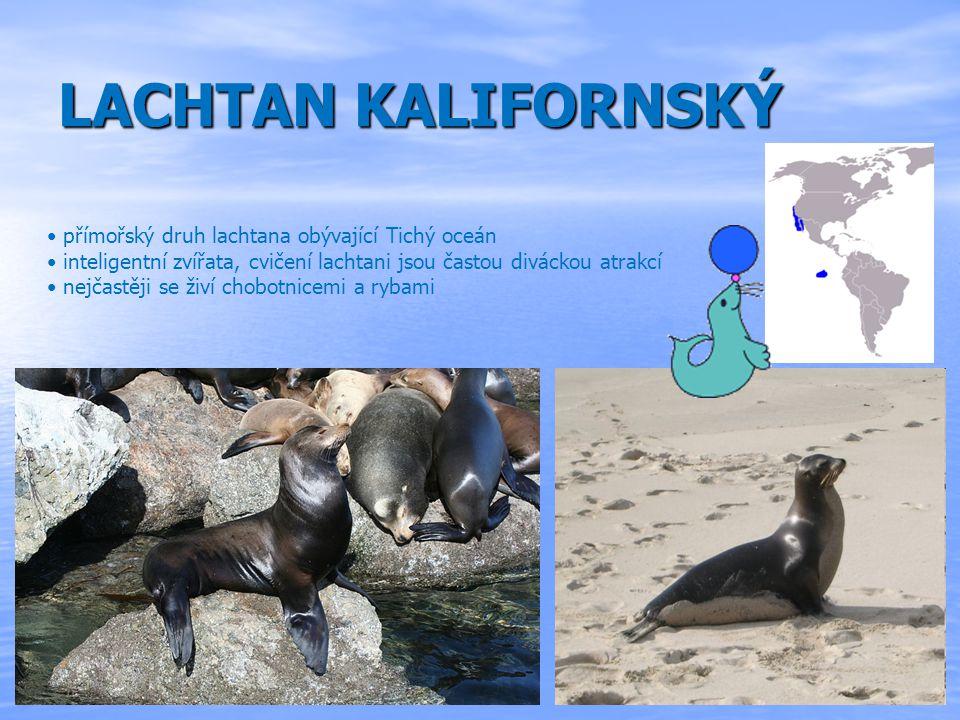 LACHTAN KALIFORNSKÝ přímořský druh lachtana obývající Tichý oceán inteligentní zvířata, cvičení lachtani jsou častou diváckou atrakcí nejčastěji se živí chobotnicemi a rybami