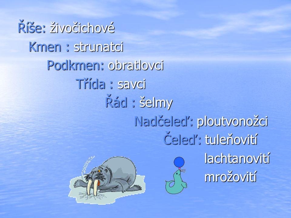 MROŽ LEDNÍ zástupcem savců obývajících Severní ledový oceán, příležitostně i sever Atlantského oceánu kly samců dosahují délky až 1 m, samice kolem 50 cm kly slouží k rozrážení ledu, k odtrhávání korýšů a měkkýšů ode dna samci váží kolem 1210 kg a samice 830 kg barva mrože je v ledové vodě hnědá až téměř bílá (kůže nedokrvená), ale na slunci získává růžovou barvu