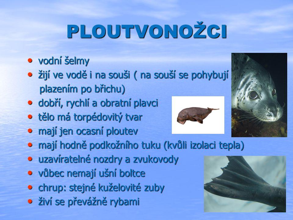 PLOUTVONOŽCI vodní šelmy vodní šelmy žijí ve vodě i na souši ( na souší se pohybují žijí ve vodě i na souši ( na souší se pohybují plazením po břichu) plazením po břichu) dobří, rychlí a obratní plavci dobří, rychlí a obratní plavci tělo má torpédovitý tvar tělo má torpédovitý tvar mají jen ocasní ploutev mají jen ocasní ploutev mají hodně podkožního tuku (kvůli izolaci tepla) mají hodně podkožního tuku (kvůli izolaci tepla) uzavíratelné nozdry a zvukovody uzavíratelné nozdry a zvukovody vůbec nemají ušní boltce vůbec nemají ušní boltce chrup: stejné kuželovité zuby chrup: stejné kuželovité zuby živí se převážně rybami živí se převážně rybami