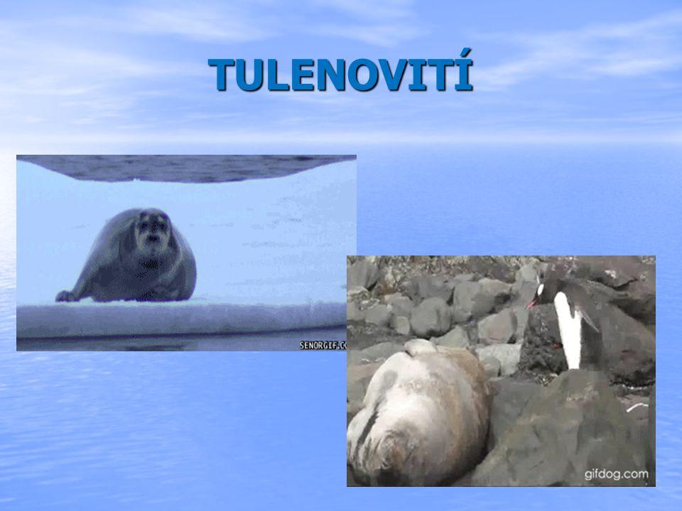 Zajímavosti Zajímavosti Ročně se rodí 200 000 mláďat lachtanů Ročně se rodí 200 000 mláďat lachtanů Lachtani se dokážou potopit do hloubky 200m a zadržet dech na 30min Lachtani se dokážou potopit do hloubky 200m a zadržet dech na 30min Mroži se dožívájí až 40 let Mroži se dožívájí až 40 let Tuleni se potápí 250 m pod hladinou Tuleni se potápí 250 m pod hladinou Tuleni se na souši pohybují kutálením Tuleni se na souši pohybují kutálením Spí na ledě Spí na ledě