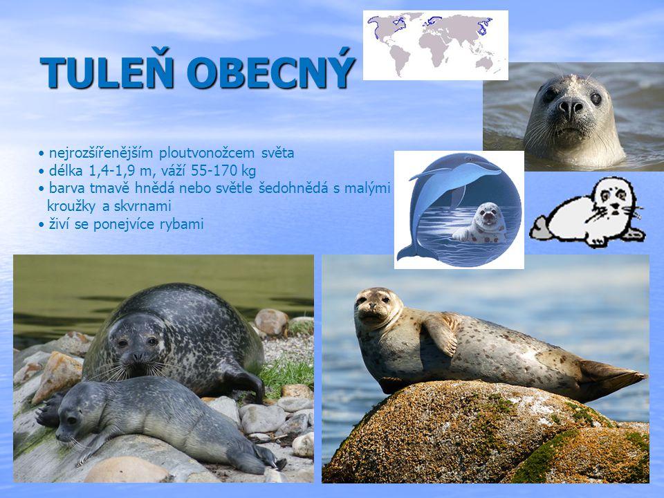 TULENOVITÍ Tuleň leopardí největší šelma antarktických moří délka 2 - 3 m, hmotnost až 370 kg Tuleň kuželozubý v severozápadním Atlantiku, v oblasti Baltského moře a na atlantském pobřeží Evropy Tuleň grónský rozšíření: Kanada, Grónsko, Norsko, Finsko, Rusko