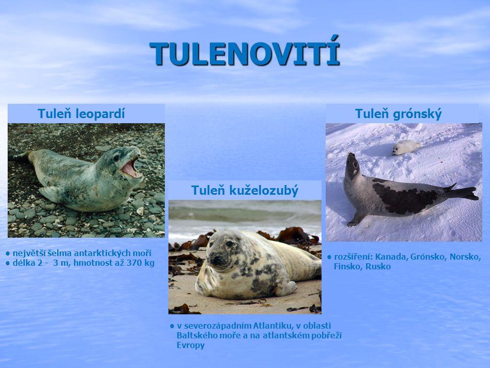 RYPOUŠ SLONÍ největší ploutvonožec z čeledi tuleňovitých žije v oblastech blízkých Antarktidě délka 4,2 až 6,5 m, hmotnost 2,2 až 5 tun jediné mládě se rodí po 350 dnech březosti a váží kolkem 40 kg, měří 1,2 m