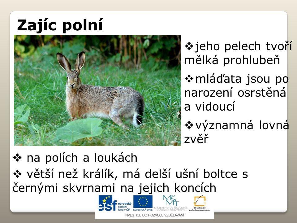 Zajíc polní  na polích a loukách  větší než králík, má delší ušní boltce s černými skvrnami na jejich koncích  jeho pelech tvoří mělká prohlubeň 