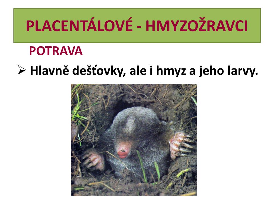 PLACENTÁLOVÉ - HMYZOŽRAVCI POTRAVA  Hlavně dešťovky, ale i hmyz a jeho larvy.