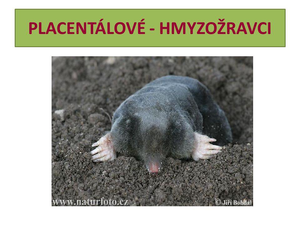 PLACENTÁLOVÉ - HMYZOŽRAVCI Vzhled  Jeden z našich nejběžnějších drobných savců vůbec.