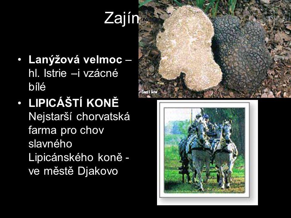 Zajímavosti Lanýžová velmoc – hl. Istrie –i vzácné bílé LIPICÁŠTÍ KONĚ Nejstarší chorvatská farma pro chov slavného Lipicánského koně - ve městě Djako