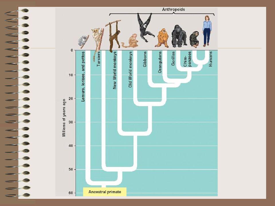 Australopithecus afarensis 4–3 mil.př. Kr.4–3 mil.