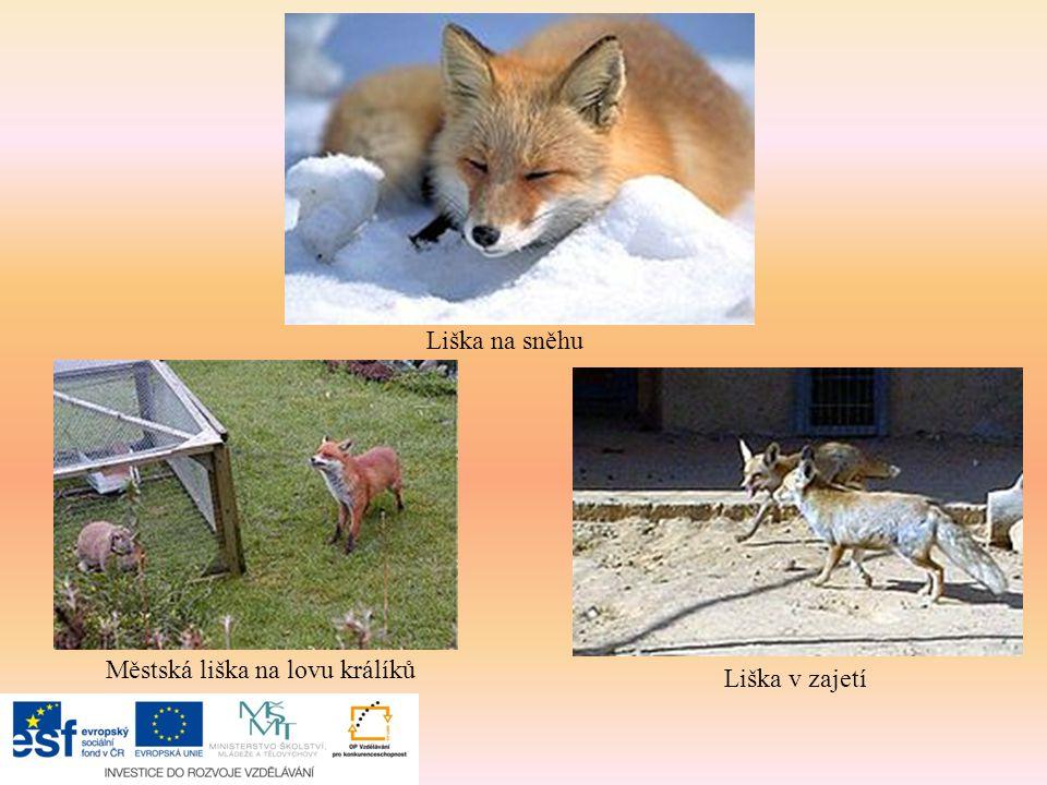 Liška na sněhu Liška v zajetí Městská liška na lovu králíků